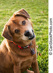 inclinación, cabeza, perro