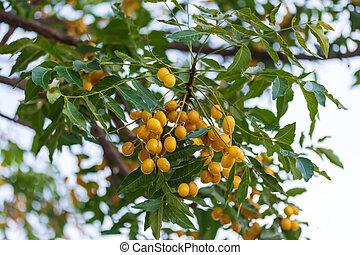 indio, ahorcadura, conocido, indica, neem, neem, árbol, semillas, o, azadirachta, árbol, comúnmente, lila
