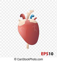 interno, realista, órgano, aislado, humano, heart.
