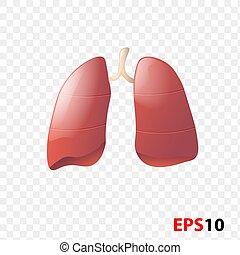 interno, realista, órgano, aislado, lungs., humano