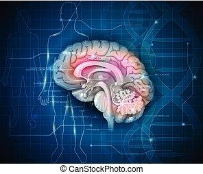 Investigación cerebral humana