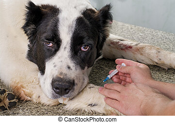 Inyecte con jeringa al perro