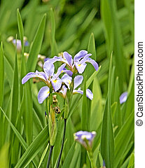 Iris salvaje