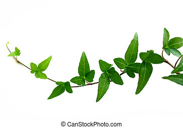 Ivy de fondo blanco 2