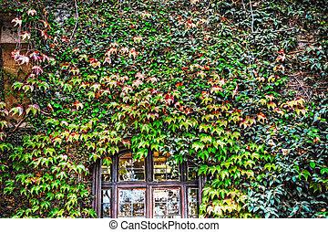 Ivy se va en una vieja fachada en Florencia