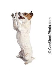 Jack Russell Terrier de pie