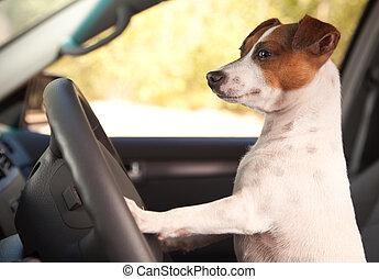 Jack Russell Terrier disfrutando de un paseo en auto