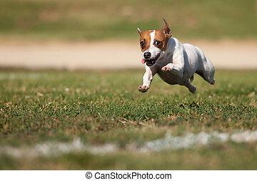 Jack Russell Terrier energético corre por la hierba