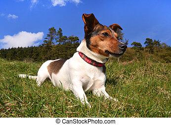 Jack Russell Terrier tirado en la hierba