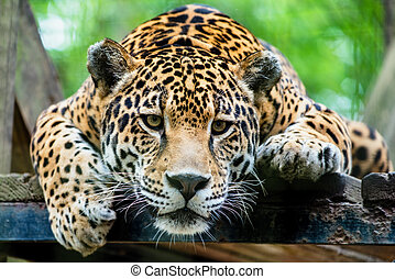 Jaguar sudamericano