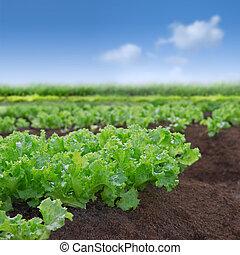 Jardín de lechugas orgánicos