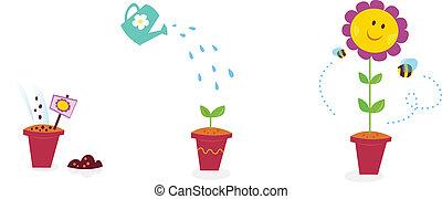 jardín, girasol, -, crecimiento, etapas