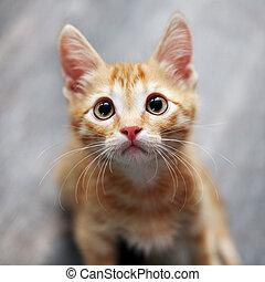 jengibre, gatito