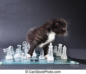 joven, chassboard, gato