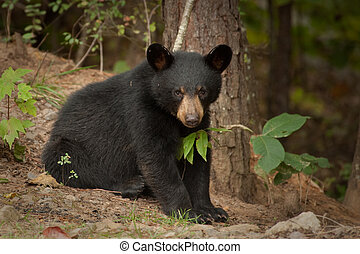 Joven oso negro