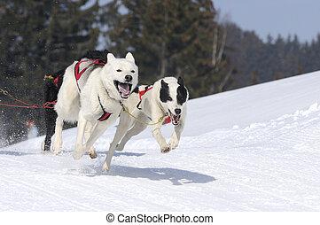 juguetón, montaña, perros