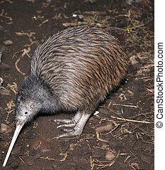kiwi, buscando