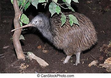 kiwi, común
