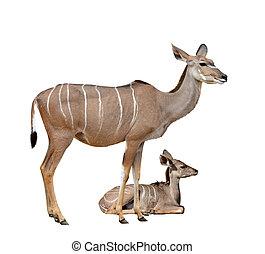 kudu, más grande