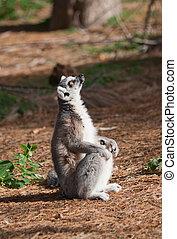 lémur, mira para arriba, llame tailed