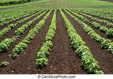 Líneas de verduras verdes en una granja.