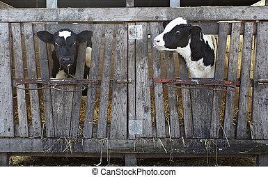 La agricultura de vacas leche bovina