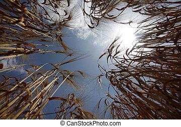 La agricultura del campo de trigo, la naturaleza pradera cultiva comida