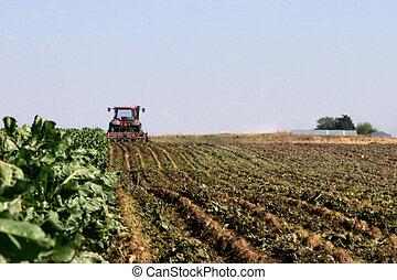 La cosecha de remolachas azucaradas