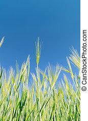 La cosecha verde bajo el cielo azul profundo