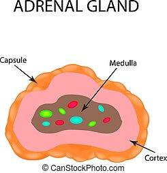 La estructura anatómica de la glándula suprarrenal. Ilustración de vectores