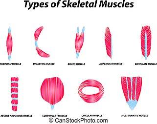 La estructura anatómica de los músculos esqueletos. Infográfico. Ilustración de vectores en el fondo aislado.