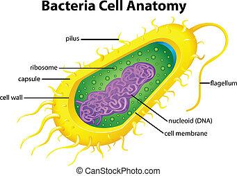 La estructura celular de bacterias