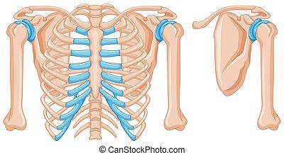 La estructura de los huesos del hombro