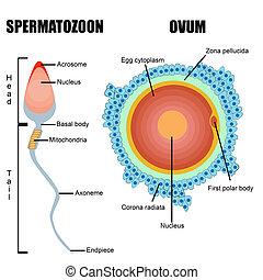 La estructura de los juegos humanos: huevos y esperma