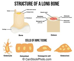 La estructura de un hueso largo