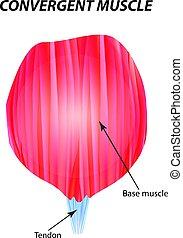 La estructura del músculo esqueleto. El músculo convergente. Tendon. Infográficos. Ilustración de vectores en el fondo aislado.