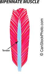 La estructura del músculo esqueleto. Músculo bipennado. Tendon. Infográficos. Ilustración de vectores en el fondo aislado.
