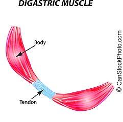 La estructura del músculo esqueleto. músculo Digastric. Tendon. Infográficos. Ilustración de vectores en el fondo aislado.