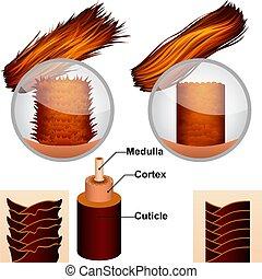 La estructura del pelo en la sección