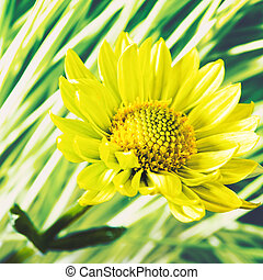 La flor Daisy contra los antecedentes naturales abstractos