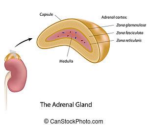 La glándula adrenal, Eps10