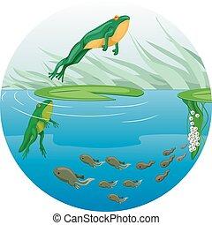 La historia del ciclo de vida de rana