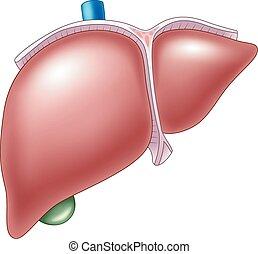 La ilustración de la anatomía hepática humana