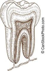 La ilustración de los dientes humanos