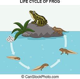 La ilustración del ciclo de vida de rana