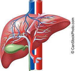 La ilustración del hígado humano