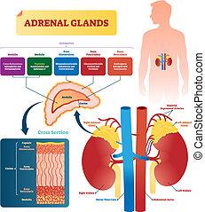 La ilustración del vector de las glándulas suprarrenales. Plan de etiqueta con hormonas