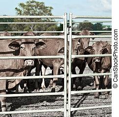 La industria agrícola refugió el ganado vacuno en corral