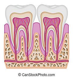 La intersección del diente