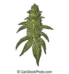 La marihuana madura planta con hojas y brotes. Vector grabando ilustraciones